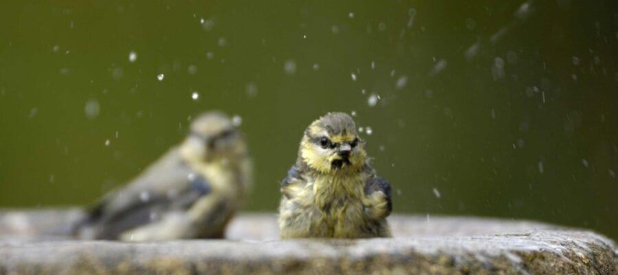 Blue tits taking a bath. Fresh water is essential for garden birds in summer