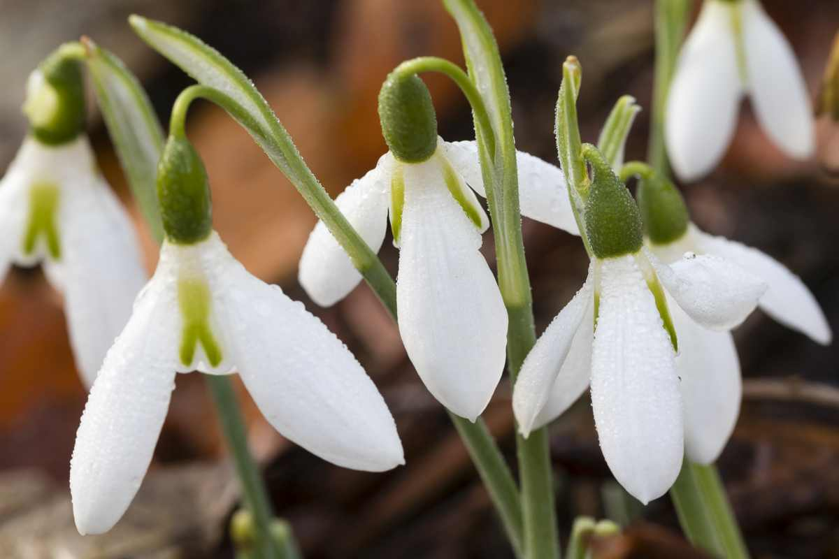 Galanthus elwesii 'Yvonne Hay'